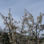 le cerisier se réjouit !